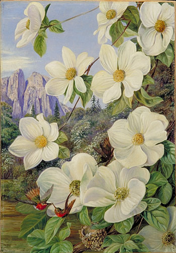 Foliage and Flowers of the Californian Dogwood, and Humming Birds