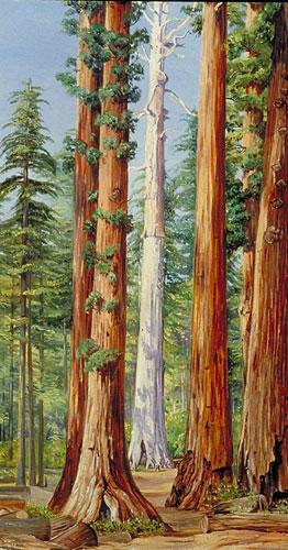 Ghost of a Big Tree, Calaveras Grove, California