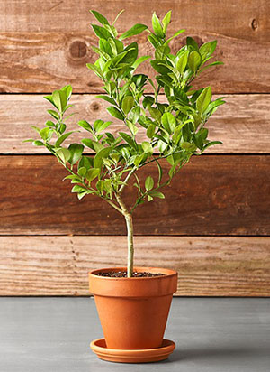 Indoor Trees Dwarf Key Lime Tree in Pot Wood Walls Plants with Fruit Apartment Friendly