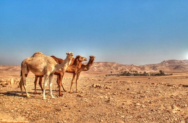 Camels watching Kfar hanokdim