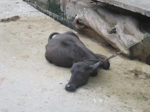 mahoba - animals