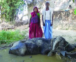 भैंस का पानी और कांदौ मा बइठाय के बीमारी कम करै का उपाय करत जागेश्वर