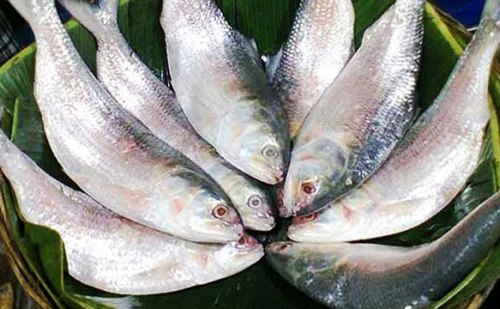 बांग्लादेश में लोकप्रिय मछली हिल्सा का जीनोम अनुक्रम सफलतापूर्वक तैयार