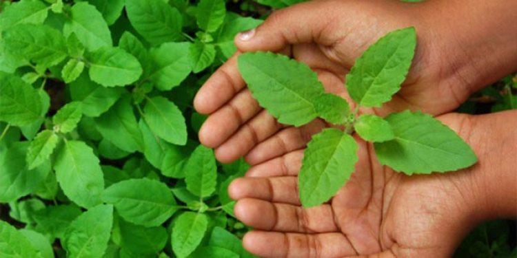खाली पेट खाएं सुबह तुलसी की पत्तियां खाने से दूर होती है जानलेवा बीमारियां