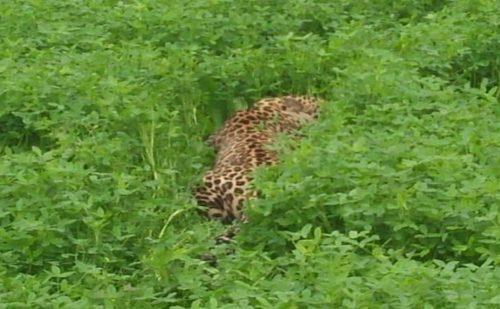 पंजाब के जालंधर में रिहायशी इलाके में घुसा तेंदुआ, काफी मशक्कत के बाद किया काबू