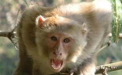 शिमला में बंदरों के आतंक से लोग परेशान, 1 माह में 122 लोगों को काटने के मामले आए सामने