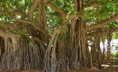 जानिए बरगद के पेड़ के फायदे, 'वात दोष' के लिए भी लाभकारी है बरगद