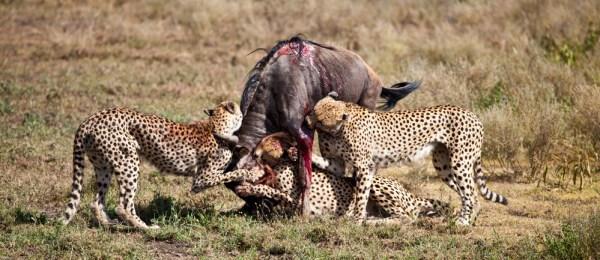 what do cheetahs eat