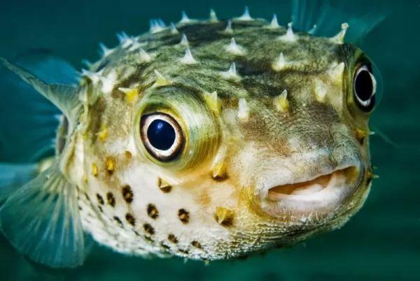 السمكة المنتفخة