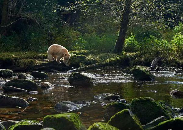 غابة الدب العظيمة المطيرة، كندا والولايات المتحدة