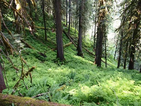 الغابات المطيرة الداخلية، كندا