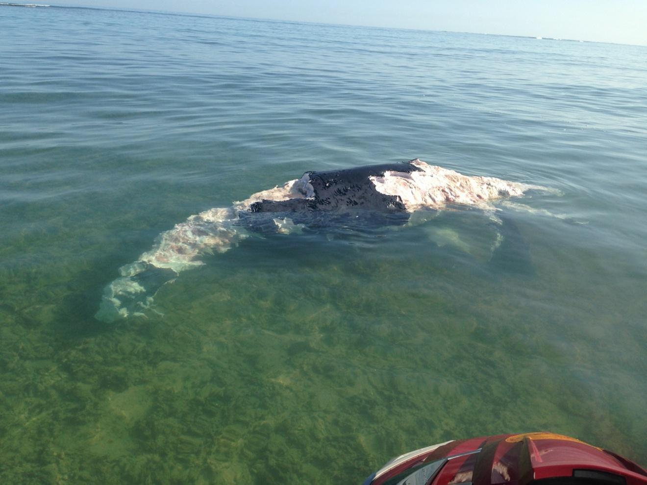 whale carcass maui county ocean safety_85149