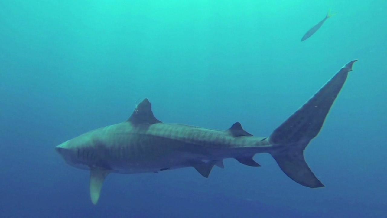 generic shark_91964