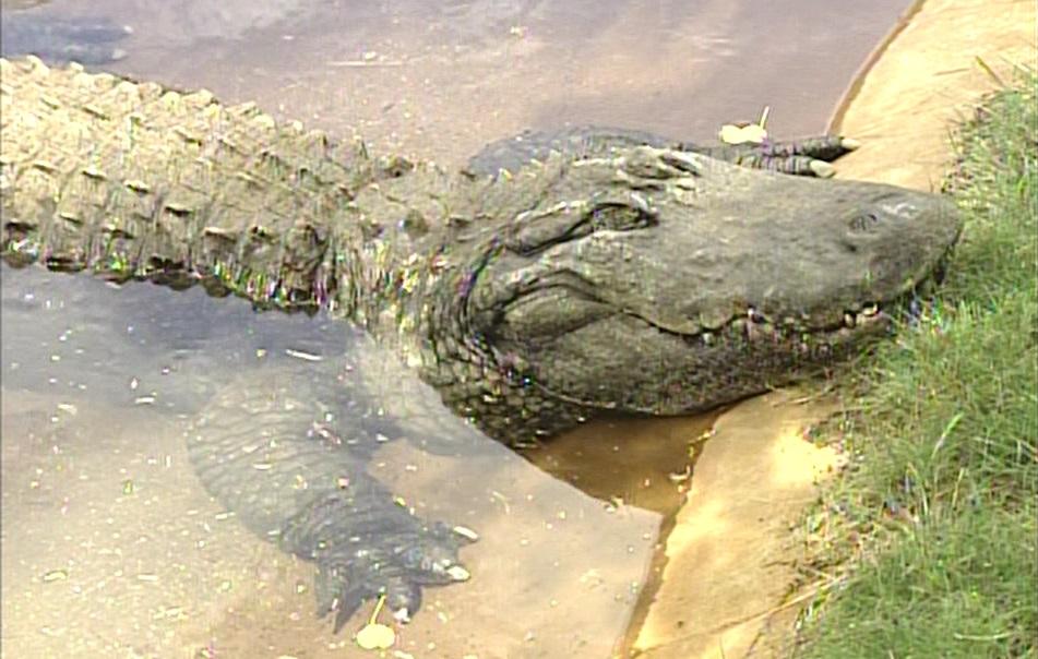 goliath alligator file_92150