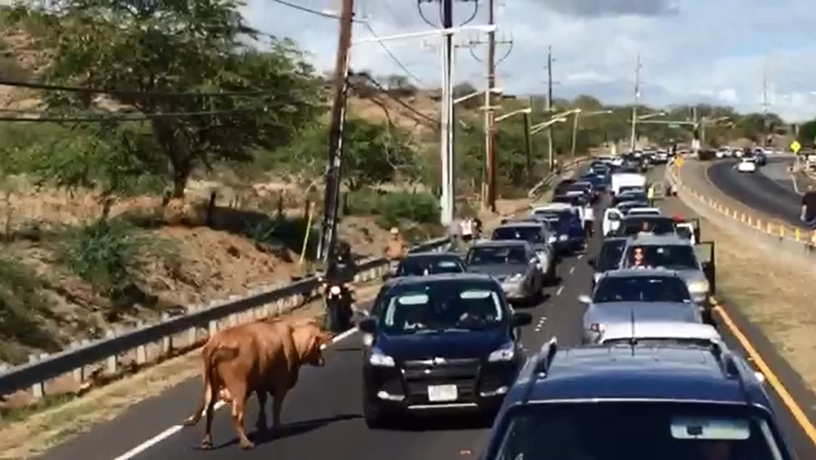 cow on farrington highway rishard carnate_105595