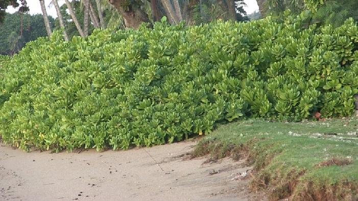 east oahu vegetation shoreline-1_113476