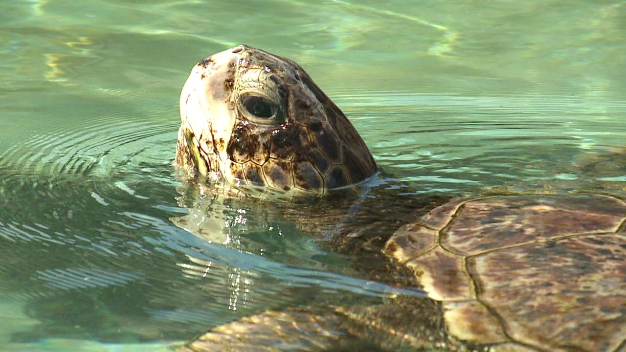 Green Sea Turtle_108532