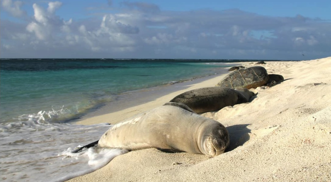 noaa monk seals edit_142964