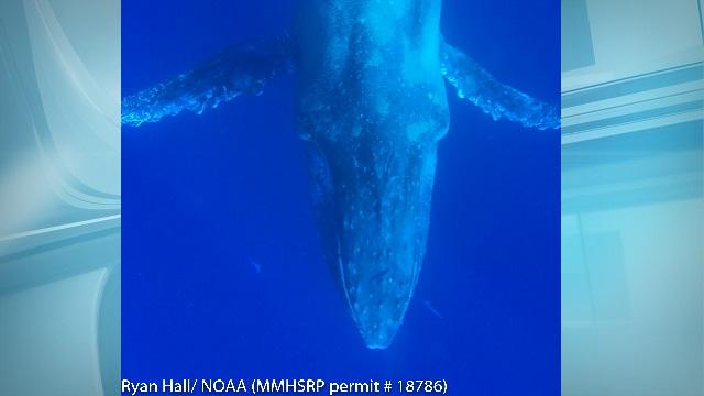 noaa humpback whale off maui_172184
