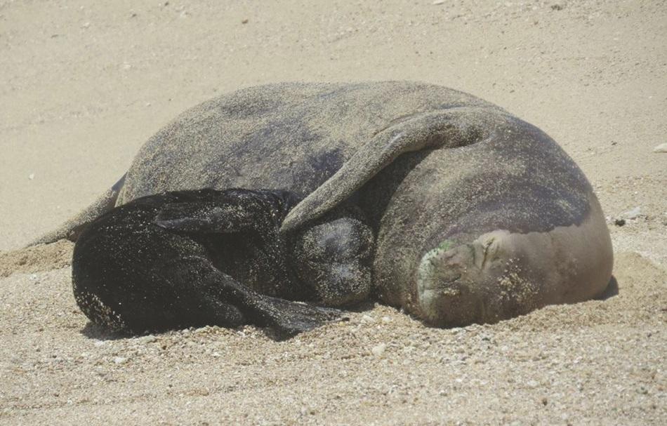 hawaiian-monk-seal-nihoa-with-pup_177839