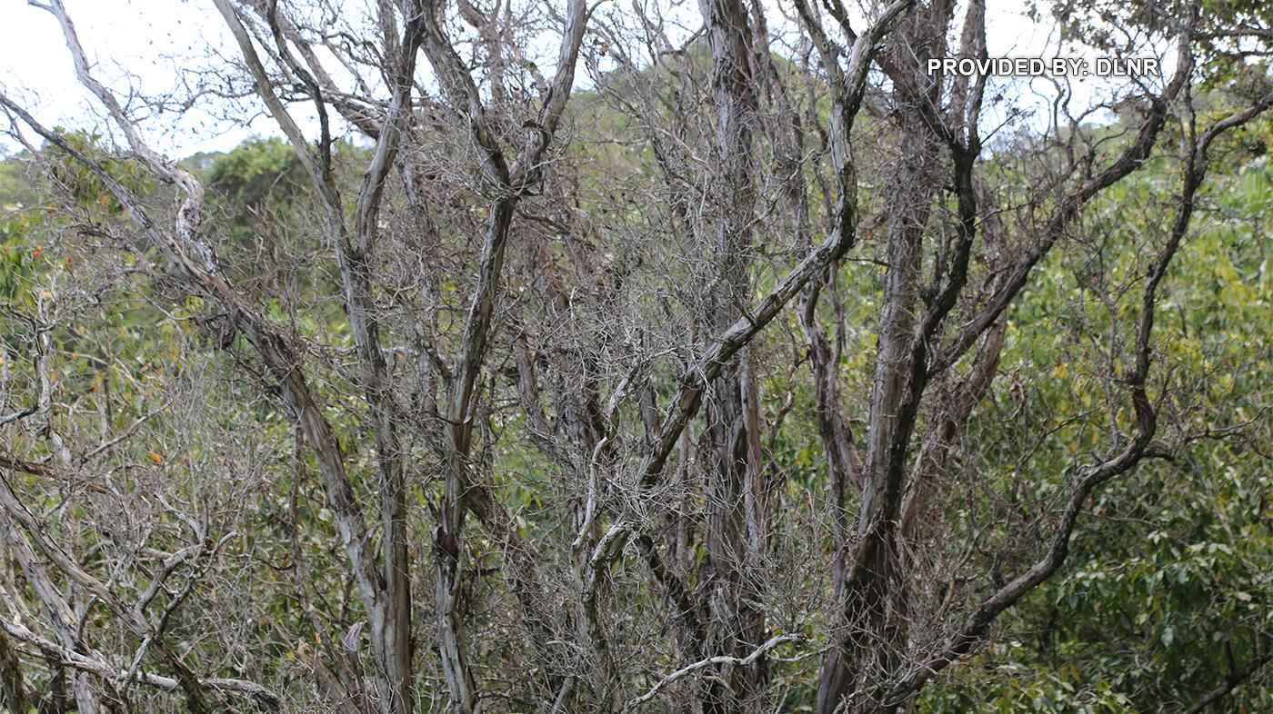 Aggressive fungus causes Rapid 'Ōhi'a Death in 2 more Kauai