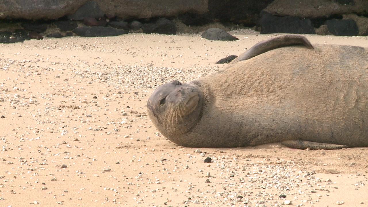 monk seal at magic island