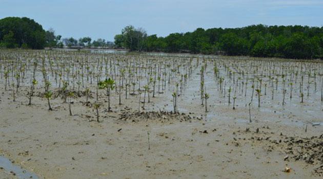 Penanaman Mangrove di Indramayu