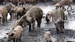 Αφρικανική πανώλη των χοίρων εντοπίστηκε σε ένα αγρόκτημα στην Κίνα