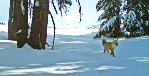 Sierra Nevada Red Fox Photo