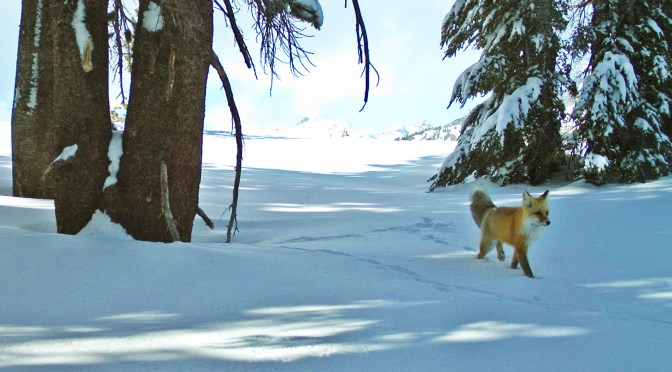 Sierra Nevada Red Fox Spotted