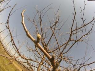 20140416_りんごの芽