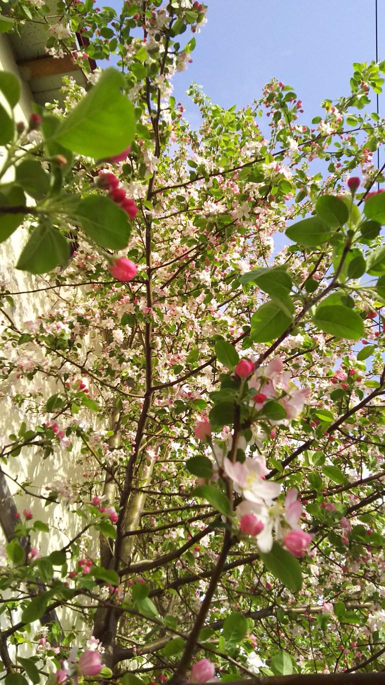 20160507_種から育ったりんごの木