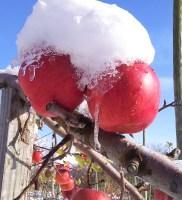 雪会いりんご画像
