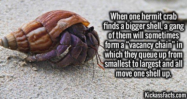 1951 Hermit Crab