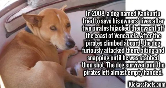 2479 Kankuntu-In 2008, a dog named Kankuntu tried to save his owners' lives after five pirates hijacked their yacht off the coast of Venezuela. After the pirates climbed aboard, the dog furiously attacked them, biting and snapping until he was stabbed then shot. The dog survived and the pirates left almost empty handed.