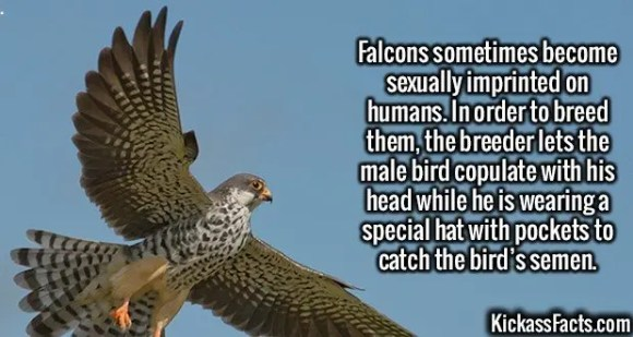 2543 Falcons-Falcons sometimes become sexually imprinted on humans. In order to breed them, the breeder lets the male bird copulate with his head while he is wearing a special hat with pockets to catch the bird's semen.