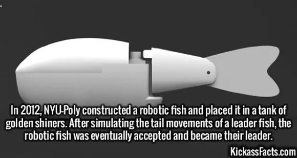 2576 Robotic Fish-In 2012, NYU-Poly constructed a robotic fish and placed it in a tank of golden shiners. After simulating the tail movements of a leader fish, the robotic fish was eventually accepted and became their leader.