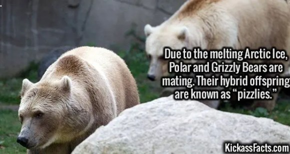 """2627 Pizzlies-Due to the melting Arctic Ice, Polar and Grizzly Bears are mating. Their hybrid offspring are known as """"pizzlies."""""""
