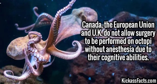 3998 Octopi Surgery-Canada, the European Union and U.K. do not allow surgery to be performed on octopi without anesthesia due to their cognitive abilities.