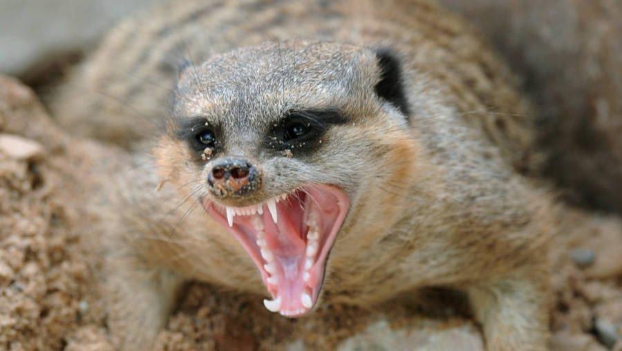 Meerkat Facts: 20 Amazing Facts About Meerkats   KickassFacts.com