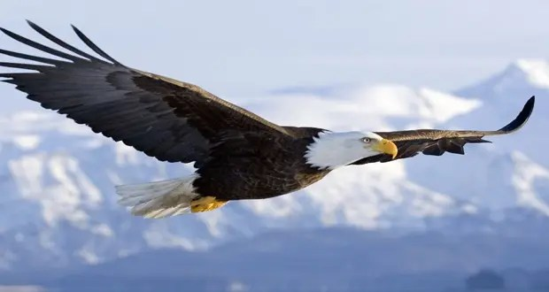Eagle Facts - 37 Interesting Facts About Eagles | KickassFacts.com
