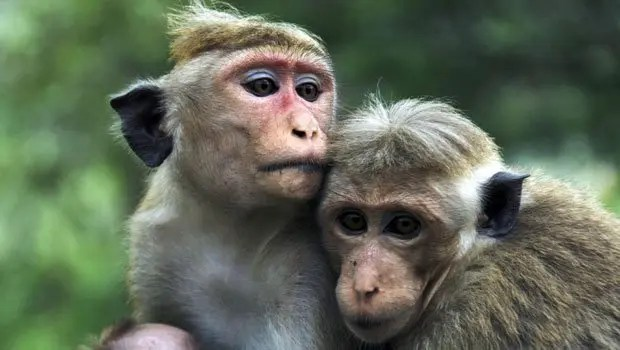 Monkey Facts - 39 Amazing Facts About Monkeys | KickassFacts.com