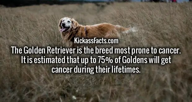 golden_retriever.jpg?w=620