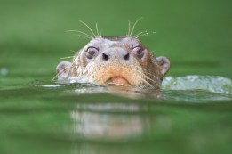 otter at manu biosphere crees