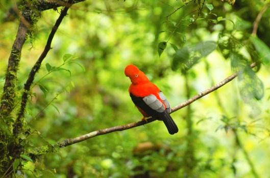 cock of the rock peruvian national bird