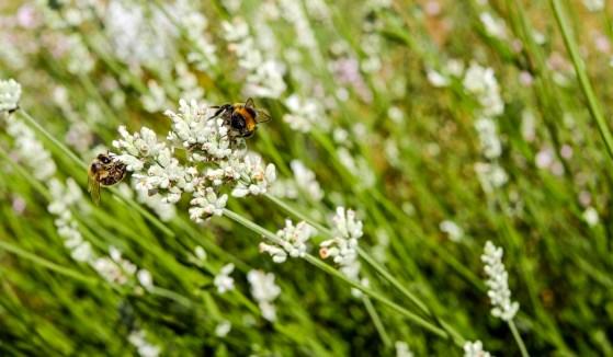 lavender-2472926_1280