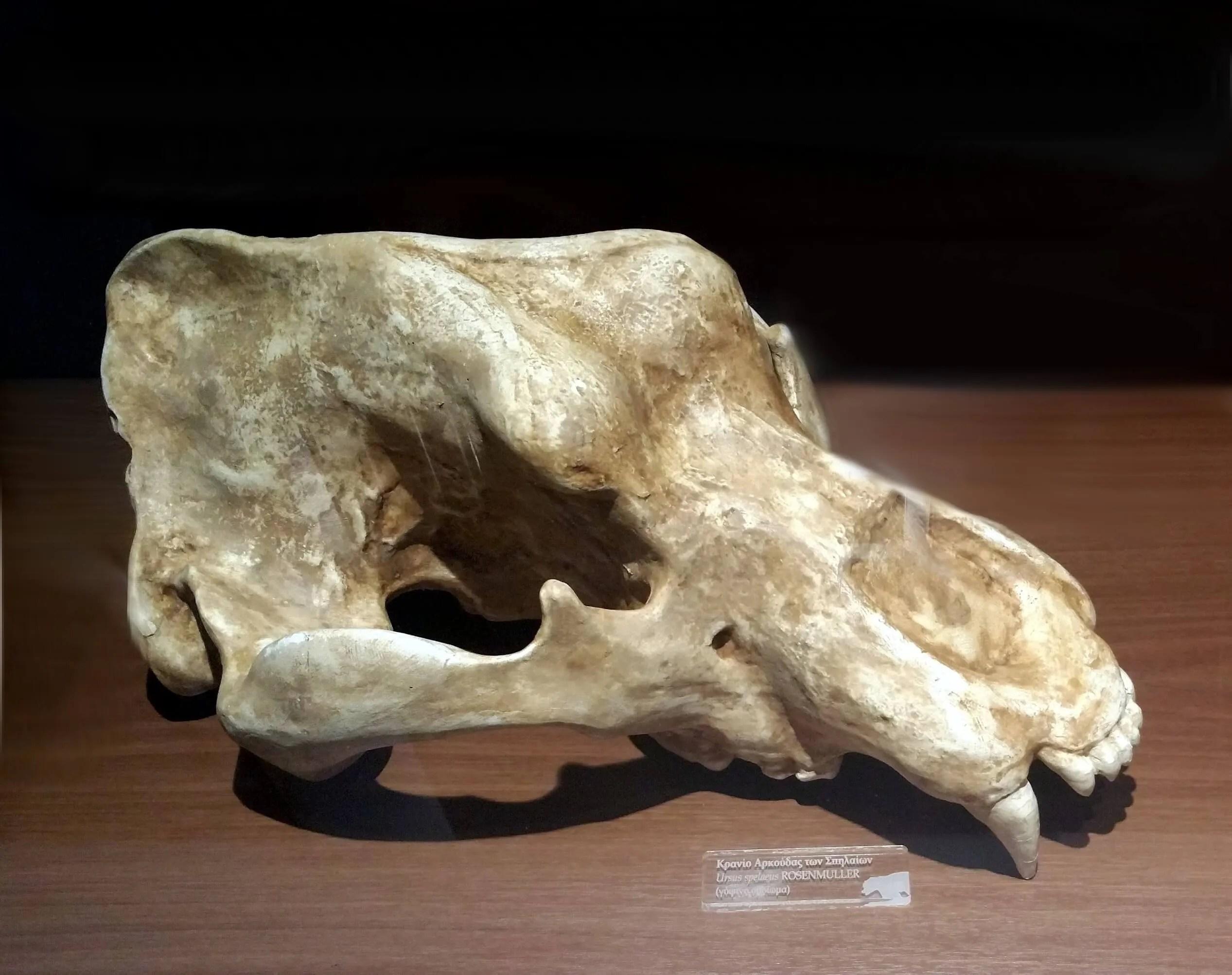 Skull model of ursus spelaeus | Information & Promotion Center of the Perama Cave