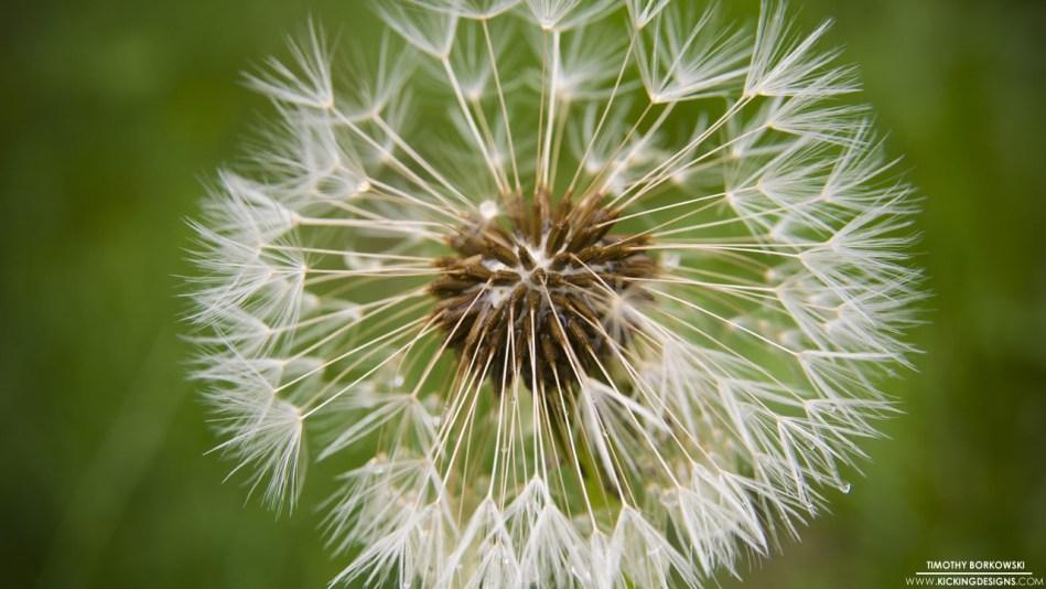 dandelion-7-28-2013_hd-720p