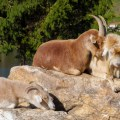 goats-on-a-rock-6-27-2014