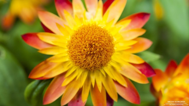 yellow-orange-red-flower-8-18-2014